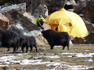 Keeping the yaks out of the tents made for good entertainment